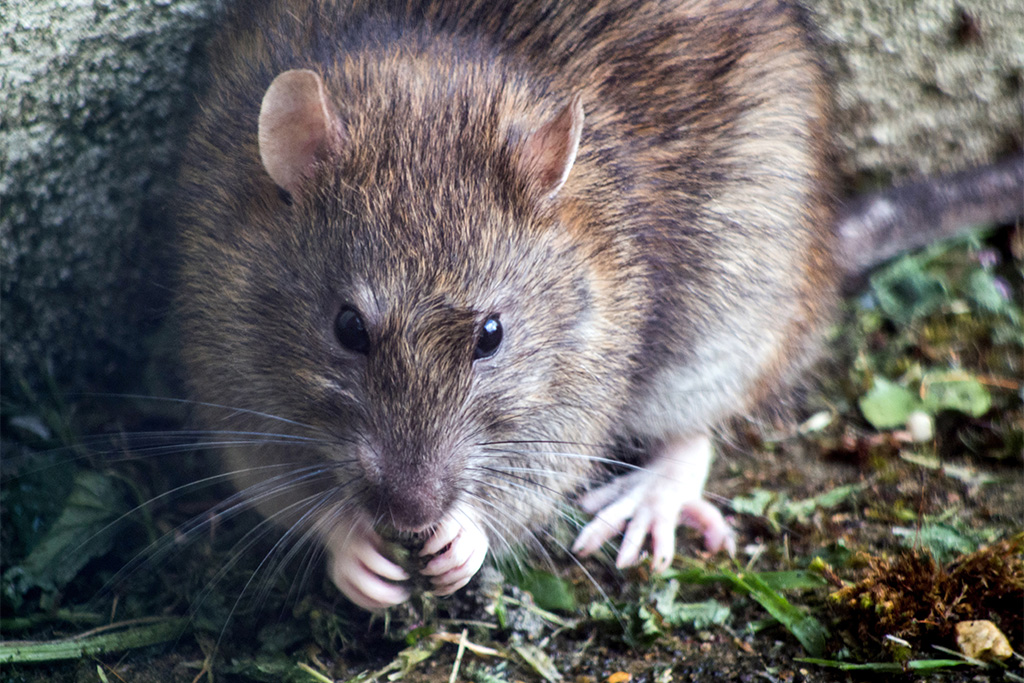 A photograph of a brown rat